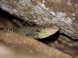 Australian Eastern Water Dragon on a Granite Escarpment Photographic Print by Jason Edwards