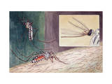 Closeups of Mosquito Biting Man's Arm and of its Blood-Sucking Tube Photographic Print by Hashime Murayama