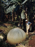Woman Studies Large Manmade Stone Sphere Resting in Banana Field Photographic Print by Luis Marden