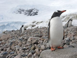 Gentoo Penguins, Pygoscelis Papua, on a Rocky Shore Photographic Print by  Keenpress