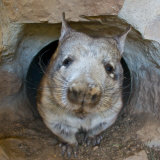 Southern Hairy-Nosed Wombat Coming Out of Den in Curiosity Photographic Print by Brooke Whatnall