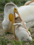 American White Pelican Feeding its Chick Fotografisk tryk af Klaus Nigge