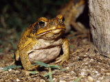 Introduced Pest, a Cane Toad Feeds on Insects under a Street Light Photographic Print by Jason Edwards