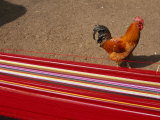 Rooster Walks Past Colorful Warp Yarn on a Back Strap Loom Photographic Print by Gordon Wiltsie