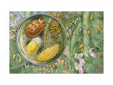 Painting of the Life Cycle of a Mexican Bean Beetle Photographic Print by Hashime Murayama