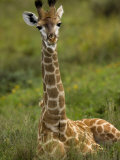 Portrait of a Young Giraffe Resting Photographic Print by Mattias Klum