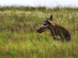 Brown Hyena with a Partially Eaten Carcass in it's Mouth Photographic Print by Mattias Klum