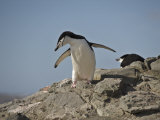 Two Gentoo Penguins (Pygoscelis Papua) Standing and Sitting on Rock Photographic Print by  Keenpress