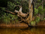 Gnarled Tree Trunk and Roots on a Muddy Bank Photographic Print by Mattias Klum