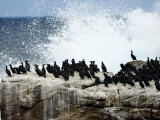Flock of Cormorants on a Seaside Rock That Is Pounded by the Waves Fotografisk tryk af Mattias Klum