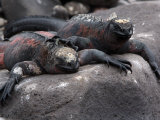 Endangered Marine Iguanas, Amblyrhynchus Cristatus, Resting on a Rock Photographic Print by Tim Laman