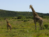 Young and an Adult Giraffe in an African Landscape Photographic Print by Mattias Klum