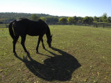 Black Tennesee Walker Horse Grazing and Casting a Shadow Photographic Print by Scott Sroka