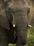 Portrait of an African Elephant Eating Photographic Print by Mattias Klum