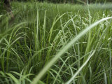 Chitwan National Park, Nepal-Close-up Elephant Grass Photographic Print by Keenpress 