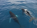 Two Humpback Whales, Megaptera Novaeangliae, Swimming Side by Side Photographic Print by  Keenpress