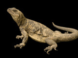 Endangered San Esteban Chuckwalla Photographic Print by Joel Sartore