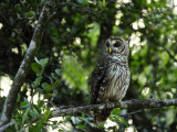 Barred Owl Sitting on a Tree Branch Photographic Print by Raul Touzon