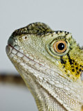 Eastern Water Dragon Sits Up in Studio and Looks Off Camera Right Photographic Print by Brooke Whatnall