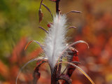 Tufted Seeds of the Fireweed Plant, Ready for Dispersal on the Wind Photographic Print by George Herben
