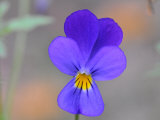 Close Up of a Wild Johnny Jump Up Flower Photographic Print by George Herben