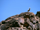 Desert Big Horn Sheep Stand Proudly on a Sandstone Ledge Photographic Print by Kate Thompson