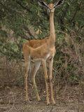 Alert Impala Photographic Print by Michael Nichols