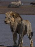 Lion Standing on a Riverbank Photographic Print by Michael Nichols