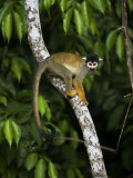 Squirrel Monkey Climbing on a Tree Branch Fotografisk tryk af Mattias Klum