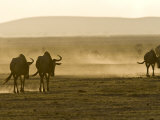 Backlit View of Wildebeests Walking Away Photographic Print by Michael Polzia
