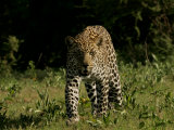 Front View of Leopard, Panthera Pardus, Walking Photographic Print by Beverly Joubert