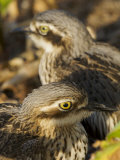 Bush Stone Curlew, Burhinus Grallarius, Camouflaged in Leaf Litter Photographic Print by Tim Laman