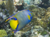 Blue Angelfish Swimming in the Coral Reef Off of Key Largo Photographic Print by Mike Theiss
