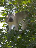 Lone Vervet Monkey Perched in Tree Photographic Print by Roy Toft