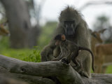 Olive Baboon and Infant with Herd of Impalas Photographic Print by Beverly Joubert