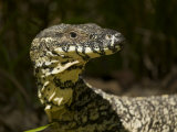 Portrait of a Lace Monitor Lizard, Varanus Varius Photographic Print by Tim Laman