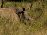 White Rhinoceros in Tall Grasses Photographic Print by Roy Toft