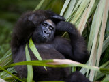 Portrait of a Gorilla Photographic Print by Michael Polzia