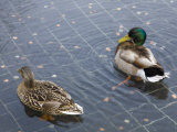 Pair of Ducks Swim at the Korean War Memorial Photographic Print by Scott Warren