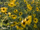 Sunflowers in the Wind Photographic Print by John Burcham