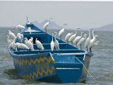 Egrets on a Blue Boat with a Yellow Pattern Photographic Print by Michael Polzia