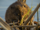 Muskrat (Ondatra Zibethicus) Feeding at Sunset Photographic Print by Tim Laman