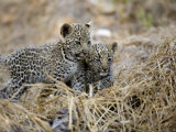 Pair of Leopard Cubs Photographic Print by Michael Polzia