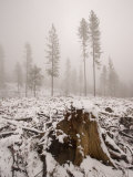 Logged Area of the Stanislaus National Forest in Winter Photographic Print by Phil Schermeister