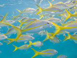 School of Fish Swimming in Crystal Clear Waters Off of Key Largo Photographic Print by Mike Theiss