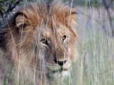 Male African Lion, Panthera Leo, in Tall Grasses Photographic Print by Kent Kobersteen