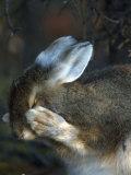 Snowshoe Hare (Lepus Americanus) Papier Photo par Michael S. Quinton