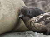 Skua Stealing Milk from a Nursing Elephant Seal Pup Photographic Print by Tom Murphy