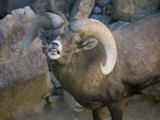 Desert Bighorn Sheep at the Arizona-Sonora Desert Museum Photographic Print by Scott Warren