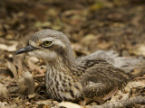 Bush Stone Curlew, Burhinus Grallarius, Camouflaged in Leaf Litter Photographie par Tim Laman